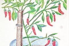 Korean Pepper Plant